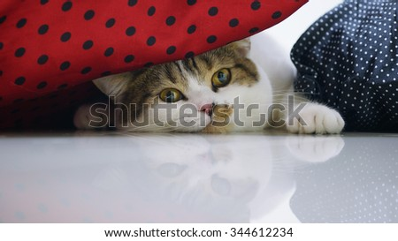 Close up Adorable Brown Tabby White cat hiding under pillows - stock photo