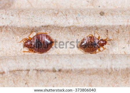Close up adult cimex hemipterus on corrugated recycled paper, bedbug, blood sucker - stock photo