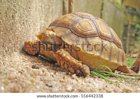 Close up African spurred tortoise sleeping  in the garden, Slow life ,Tortoise sunbathe on ground with his protective shell ,Beautiful African Spurred Tortoise
