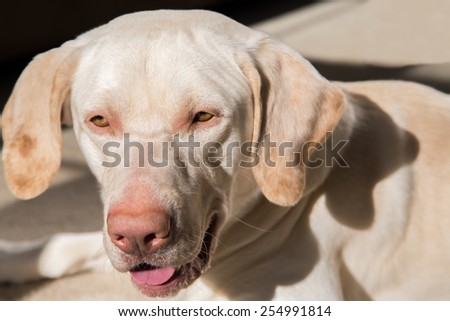 Close-up American yellow labrador's face with blurred body on sitting position - stock photo