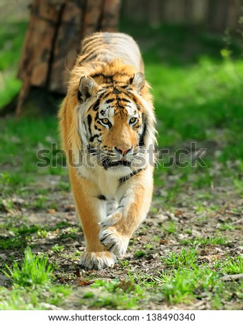 Close-up Amur Tigers in summer day - stock photo