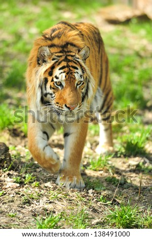 Close-up Amur Tigers in summer day