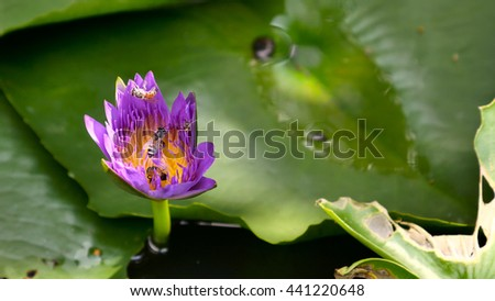 close up and blur background bee flying collecting pollen in deep of blooming purple water lily view captured at  lotus pond in Thailand. Lotus flower in Asia is important Buddhism culture symbolic - stock photo