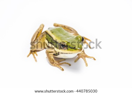 Close-up and focus point of frog species in Thailand. - stock photo