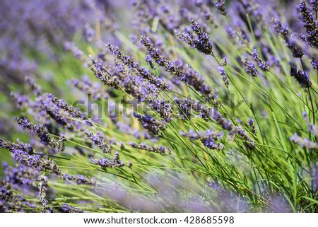 Close up and shallow depth of field view of the fresh violet lavender blossoms