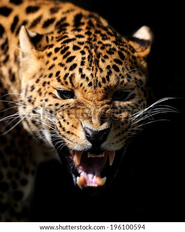 Close-up angry leoprad portrait on dark background - stock photo
