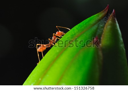 close up ant in black background - stock photo