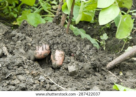 Close up as a fork digs into the dirt and lifts up a fresh harvest of red potatoes