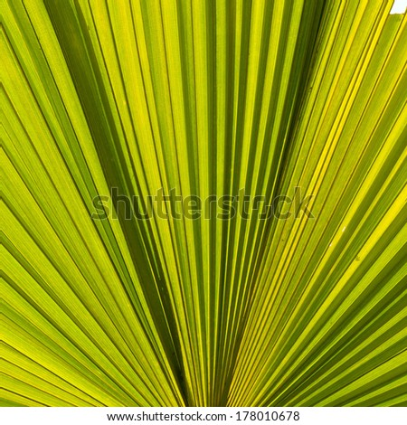 Close up Asian Palmyra palm, Toddy palm, Sugar palm, Cambodian palm