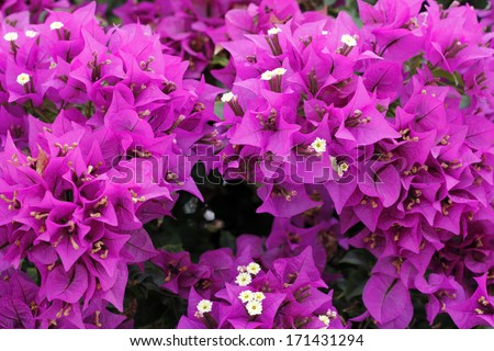 Close-up backdrop of beautiful bright fuchsia bougainvillea shrub growing outside on a sunny day in tropical south Florida.  - stock photo