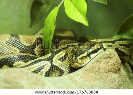 Close up Ball python on the wood - stock photo