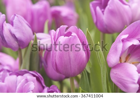 Close-up beautiful blooming pink tulips with a selective focus and shallow depth of field
