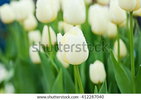 CLOSE-UP BEAUTIFUL BLOOMING WHITE TULIPS SHALLOW DEPTH OF FIELD, SELECTIVE FOCUS AND BLURRY BACKGROUND, BLANK COPY-SPACE - stock photo