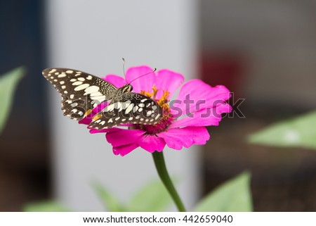 Close up Beautiful Butterfly on pink Flower