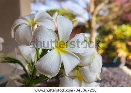 close up beautiful charming fragrant white flower plumeria bunch