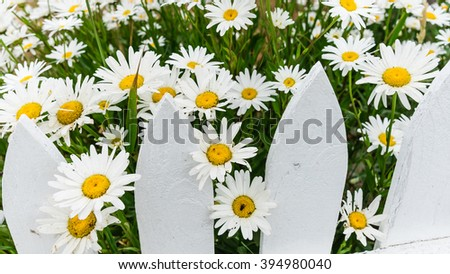 Close-up beautiful daisies flowers blooming at white picket fence in a yard at Sequim, Washington, USA. Daisy in the field, cottage garden. Nature flower background and summer concept. Panoramic style - stock photo