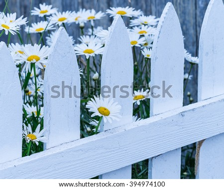 Close-up beautiful daisies flowers blooming at white picket fence in a yard at the rural Sequim, Washington, USA. Daisy in the field, cottage garden. Nature flower background and summer concept. - stock photo