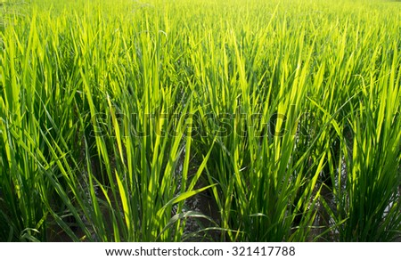 Close up Beautiful Green rice field abstract background