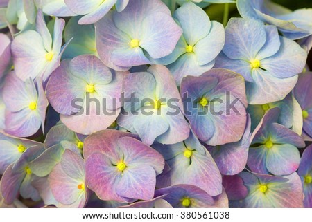 Close up beautiful hydrangea flower