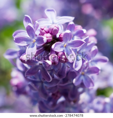 Close-up beautiful lilac flowers. Soft focus - stock photo