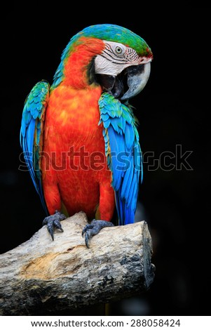 close up beautiful of scarlet macaw birds perching on dry tree brand against dark background - stock photo