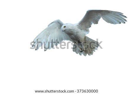 Close up beautiful Snowy owl Bubo scandiacus, white owl with black spots and bright yellow eyes flying over blue, winter sky. Outstretched wings and tail, focused on prey on ground. Isolated on white. - stock photo