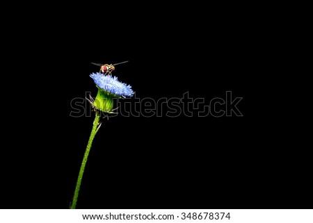 Close up beautiful Tephritidae on white dandelion against black background.  - stock photo