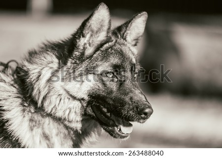 Close Up Beautiful Young Brown German Shepherd Puppy Dog Staying Outdoor In Spring - stock photo