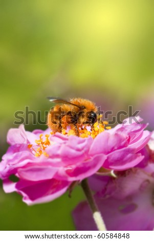 Close up bee collecting honey on pink flower - stock photo