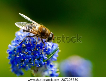 Close-up bee on a blue flower - stock photo