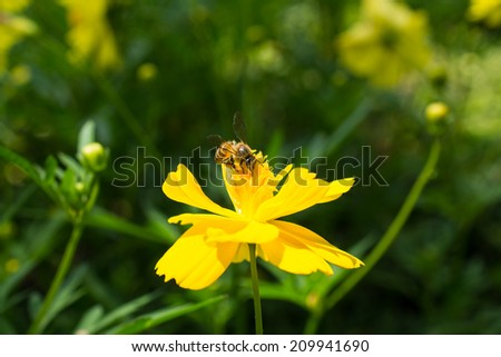Close Up Bee on Yellow Flower,  Macro - stock photo