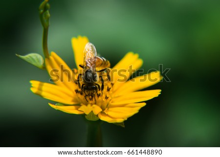 close up bee with yellow wild daisy