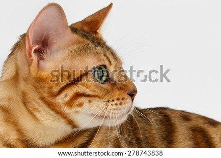 Close-up Bengal Cat at Profile view on White Background  - stock photo