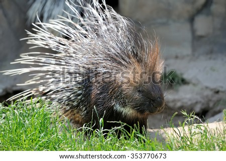 Close-up big young porcupine on grass