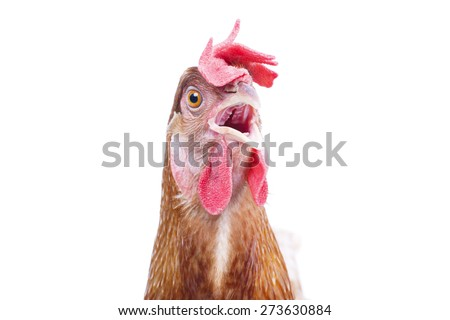 close up bill ,beak ,eye and face of chicken livestock with funny acting isolated white background use for lovely livestock and farm animals theme - stock photo
