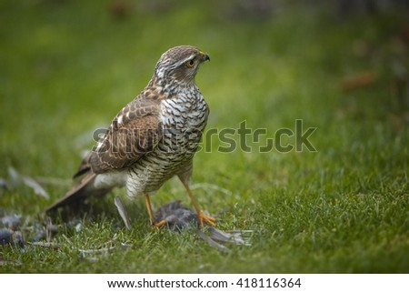 Close-up bird of prey Eurasian sparrowhawk, Accipiter nisus, sitting on green grass, feeding on successful catch, house sparrow in claws. A few feathers around, blurred background. Autumn, Europe. - stock photo