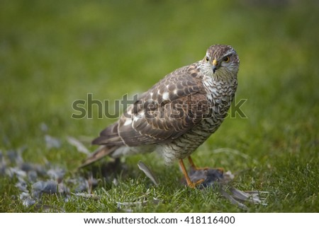 Close-up bird of prey Eurasian sparrowhawk, Accipiter nisus, sitting on green grass with successful catch, house sparrow in claws. A few feathers around, blurred background. Czech republic, Europe. - stock photo
