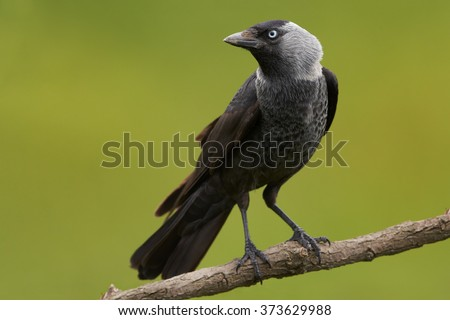 Close up, black and grey bird with light blou eye, from crow family, Corvus monedula, Western jackdaw, perched on diagonal branch, staring directly at camera, side view. Green blurry background. - stock photo