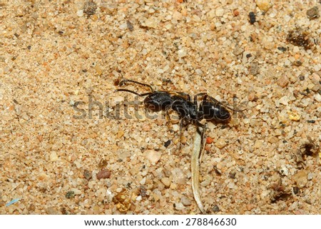 close up black ant dead on sand - stock photo