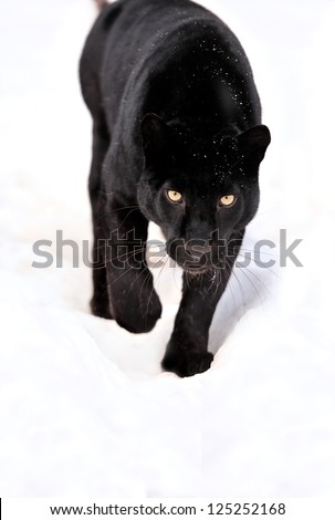 Close-up black leopard on snow - stock photo