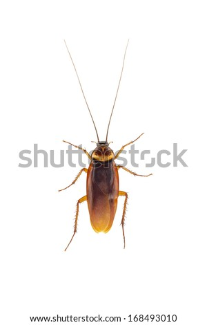 Close up blattella germanica german cockroach isolated on white background - stock photo