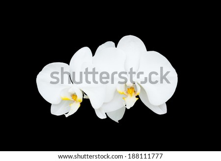 close-up bloom white orchid flower isolate black background