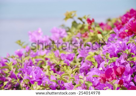 close up blooming Bougainvillea in Thailand - stock photo