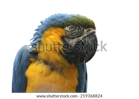 Close-up blue and gold macaw parrot over white background - stock photo