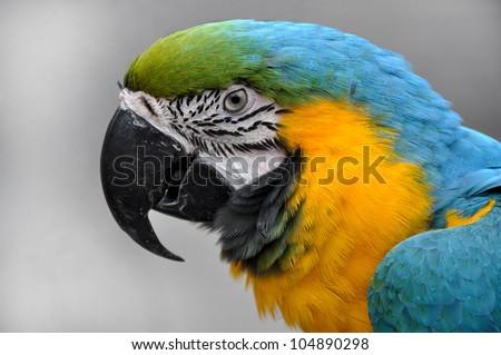 Close-up Blue-and-yellow Macaw Ara ararauna head - stock photo