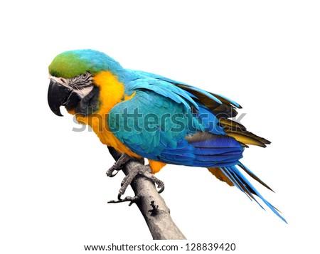 Close-up Blue-and-yellow Macaw Ara ararauna isolated on white background - stock photo