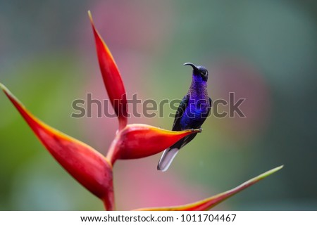 Close up blue hummingbird, Campylopterus hemileucurus, glittering Violet Sabrewing perched on red heliconia flower against abstract, colorful, pink and green tropical background. La Paz. Costa Rica.