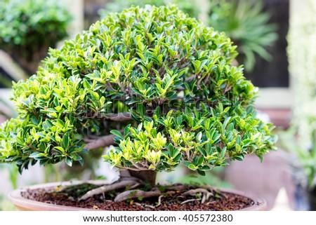 close up bonsai banyan tree in tree pot - stock photo