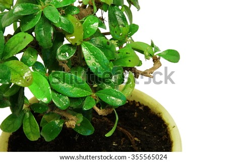 Close-up bonsai tree in the yellow pot with the place to sample text