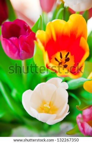 close-up bouquet of beautiful colored tulips - stock photo